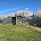 Zając Poziomka na przełęczy Campo Carlo Magno (tuż za Madonną di Campiglio)